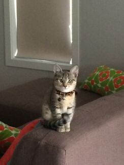 Kitten for sale  Camp Hill Brisbane South East Preview