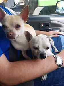 Found x 2 male chihuahuas in Castlereagh Cambridge Park Penrith Area Preview