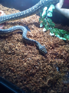 Wanted: Costel carpet Python with enclosure