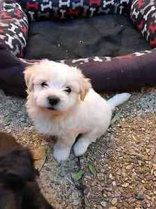 7week old maltese cross puppies for sale Bongaree Caboolture Area Preview