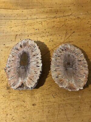Petrified pine cone (Araucaria Mirabilis) - Patagonia, Argentina