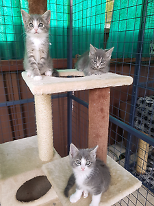 STUNNING KITTENS Cambridge Gardens Penrith Area Preview