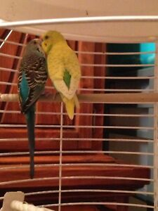 Breeding Pairs of Budgies for Sale