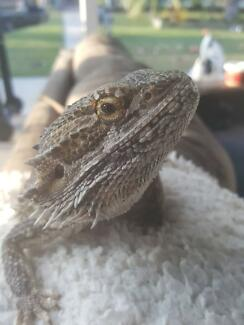 Lost Our Bearded Dragon on Merrow Street, Mt Warren Park