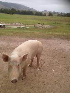 Large white pigs - boar and sow Dungog Dungog Area Preview