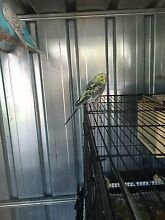 Baby budgies Glenroy Moreland Area Preview