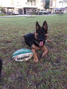 German shepherd pup Penrith Penrith Area Preview