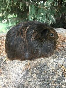 MANY GUINEA PIGS FOR SALE !! Benalla Benalla Area Preview