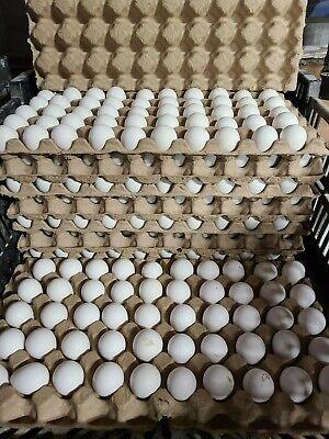 Northern Bobwhite Quail Hatching Eggs Qty 30