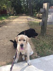 Golden Labrador male desexed Epping Ryde Area Preview
