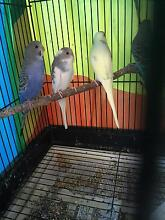 Baby budgies Thornlands Redland Area Preview