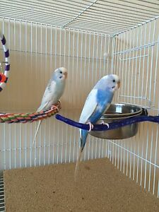 Bonded Pair of Young Budgies