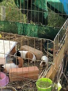 Guinea pigs Mosman Park Cottesloe Area Preview