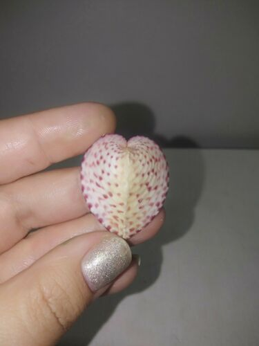Rare Coloured corculum cardissa sea shells, true heart cockle. #6