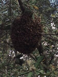 Free bee swarm collection/ removal Sydney West- Blue Mountains Penrith Springwood Blue Mountains Preview