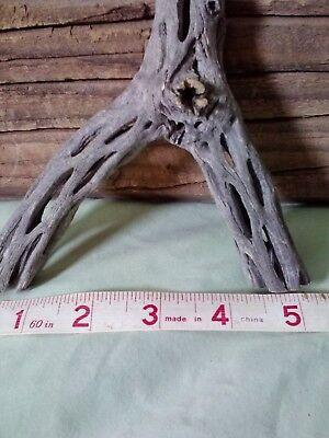 """6-1/2"""" Tall Cholla Y Driftwood Cactus Wood Aquarium DISPLAY  Air Plant Y8A"""