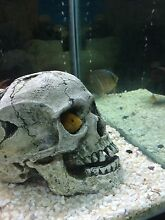 Electric yellow  African cichlids X 2 Altona North Hobsons Bay Area Preview
