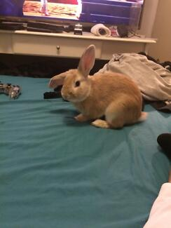 Gorgeous bunny and hutch for sale Alexander Heights Wanneroo Area Preview