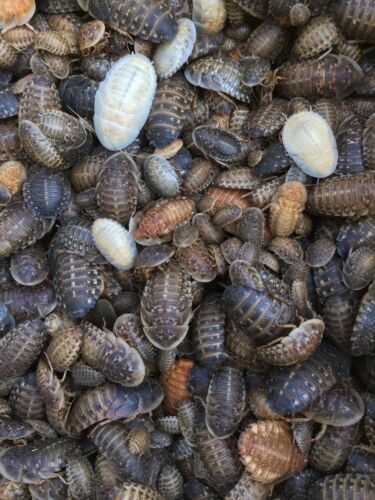 """200 Medium Dubia Roaches (1/2-1"""") Live Feeder Insects"""