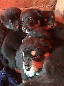 Rottweiler/lab puppies for sale
