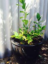 Lemon tree Bayswater Bayswater Area Preview