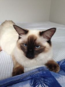 Re homing beautiful seal point rag doll cat.