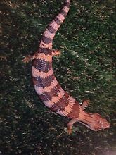 Blue Tongue lizards, 10 months old Nambour Maroochydore Area Preview