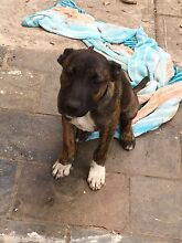 6 month old male staffy x kelpie (FREE TO GOOD HOME ) Canley Heights Fairfield Area Preview