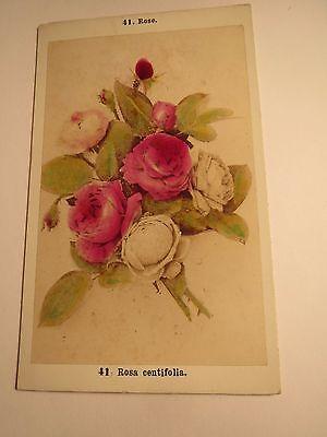 Rose - Rosa centifolia - Pflanze / CDV