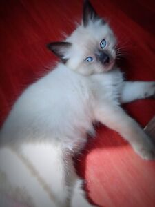 Ragdoll Kittens | Kijiji in Nova Scotia  - Buy, Sell & Save