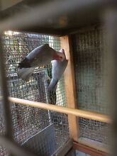 Galah breeding pair The Oaks Wollondilly Area Preview