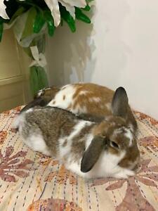 Rabbits females