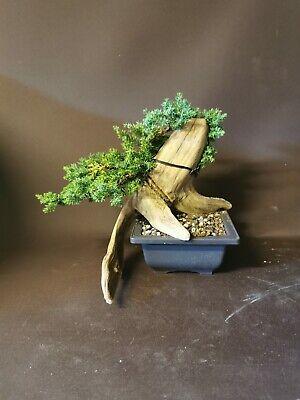 Bonsai tree tanuki  juniper starter/ semi trained shohin