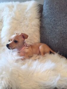 Gorgeous Chihuahua Puppy! *Pending Pick-up""