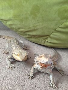Two bearded dragons and tanks for sale