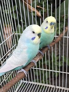 Clearwing adult budgies $30 each