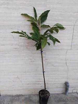 Alberi da frutto Castagne Albero Castagno Marrone di Marradi - originale