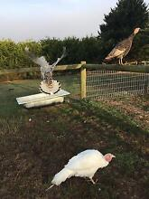 Turkeys chickens ducks Korumburra South Gippsland Preview