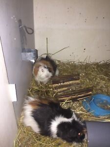 Two guinea pigs free for a good home