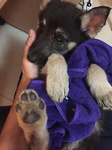9 weeks old German shepherd for sale Campsie Canterbury Area Preview