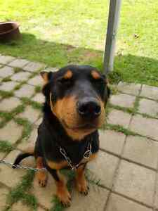 Black and tan male kelpie Wellstead Pallinup Area Preview