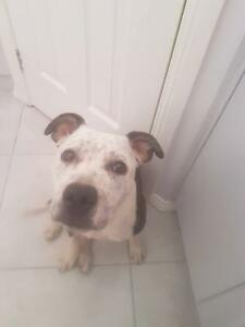 Female staffy give away to good home - ZOE Blakeview Playford Area Preview