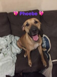 Phoebe 1yr old Sharpei x female
