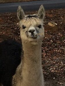 Alpacas for sale West Coolup Murray Area Preview