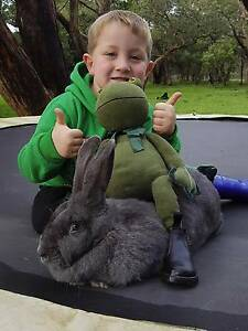 Jodie's Giant Bunnies - Flemish Giants - Mature 5-6+kg GREAT PETS Adelaide CBD Adelaide City Preview