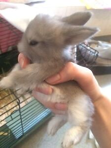 Baby bunnies for sale serious owners only Pakenham Cardinia Area Preview