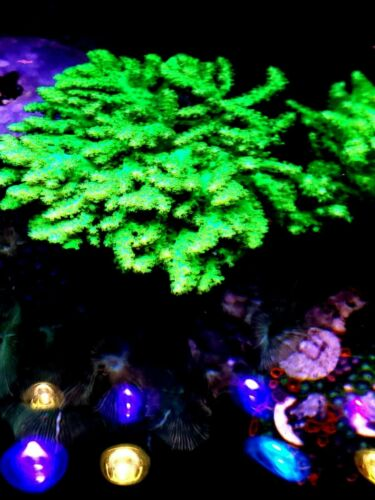 Live coral : NEON GREEN LEATHER TREE CORAL FAST GROWER SUPER BRIGHT 1 INCH