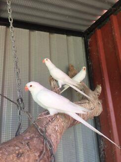 2 x White Princess Parrots $200 each