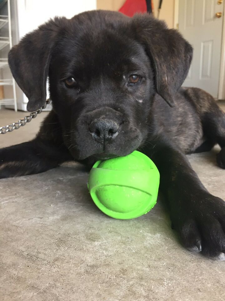 Rottweiler And Cane Corso Mix Puppystarter Kit Dogs Puppies For