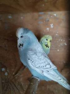 A group of Crest and Crest Bred Breeding age budgie Hens. Brooklyn Brimbank Area Preview